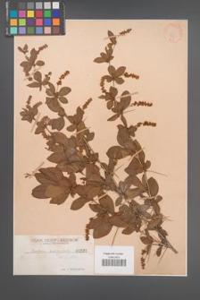 Berberis brachypoda [KOR 531]