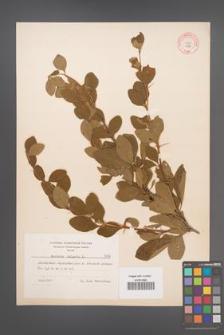 Berberis vulgaris [KOR 7996]