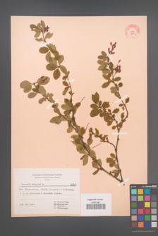 Berberis vulgaris [KOR 6965]