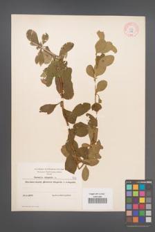Berberis vulgaris [KOR 7908]