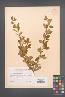 Berberis vulgaris [KOR 8141]
