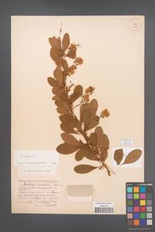 Berberis vulgaris [KOR 12048]
