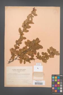 Berberis vulgaris [KOR 49290]