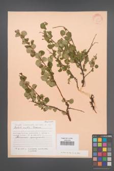 Betula exilis [KOR 24449]