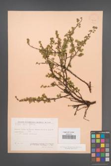 Betula exilis [KOR 24075]