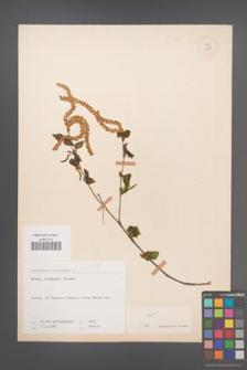 Betula litwinowii [KOR 12151]