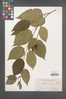 Betula luminifera [KOR 615]