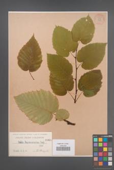 Betula maximowicziana [KOR 54841]