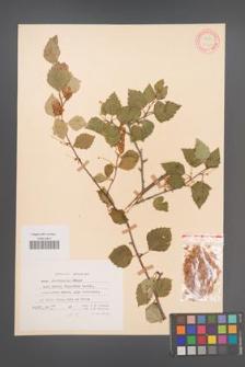 Betula microphylla [KOR 12167]