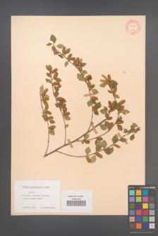 Betula microphylla [KOR 12166]
