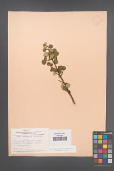 Betula middendorffi [KOR 24126]