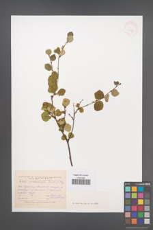 Betula middendorffi [KOR 42927]