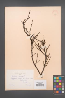 Betula nana [KOR 12188]
