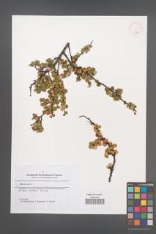 Betula nana [KOR 46331]
