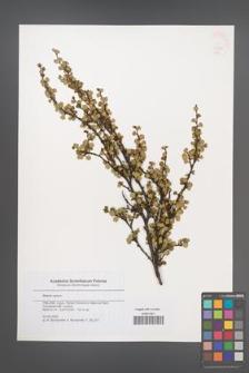Betula nana [KOR 46367]