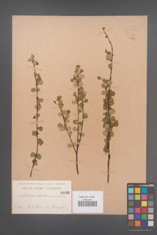 Betula nana [KOR 54260]