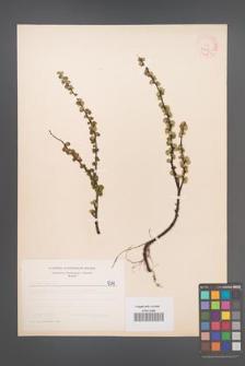 Betula nana [KOR 5347]