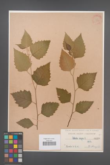 Betula nigra [KOR 596]