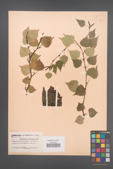 Betula obscura [KOR 2301]