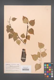 Betula obscura [KOR 2274]
