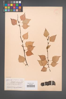 Betula obscura [KOR 2260]