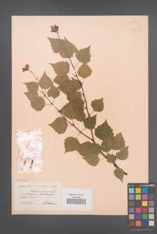 Betula obscura [KOR 2291]