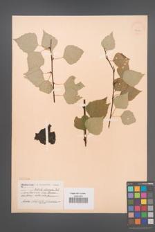 Betula obscura [KOR 2299]