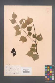 Betula obcsura [KOR 2282]