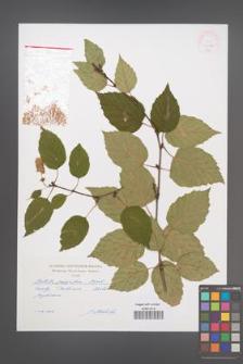 Betula papyrifera [KOR 47183]