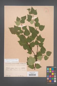 Betula pendula [KOR 1531]