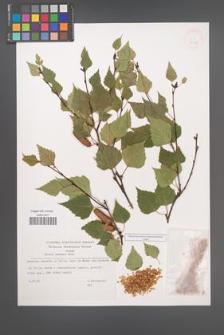 Betula pendula [KOR 32807]
