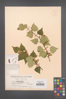Betula pendula [KOR 12244]