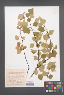 Betula pandula [KOR 42915]