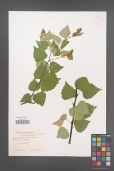 Betula pendula [KOR 36681]