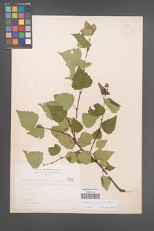 Betula aurata [KOR 5031]