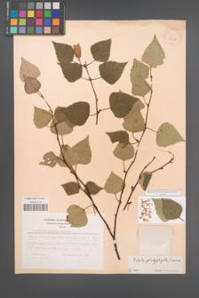 Betula platyphylla [KOR 28247]