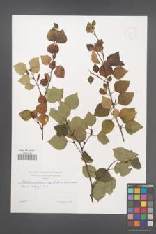 Betula pubescens [KOR 48820]