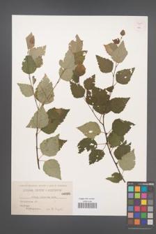 Betula pubescens [KOR 54289]