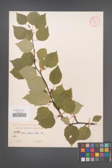 Betula pubescens [KOR 54290]