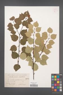Betula pubescens [KOR 54291]