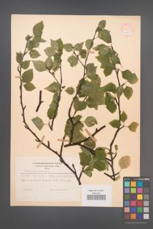 Betula pubescens [KOR 48063]