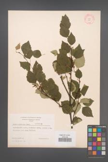 Betula pubescens [KOR 3808]