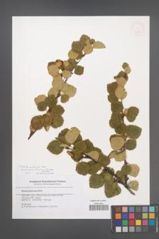 Betula pubescens [KOR 46366]