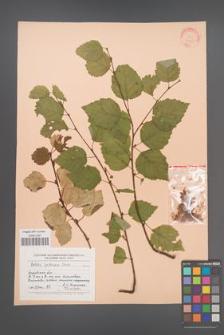 Betula pubescens [KOR 24625]