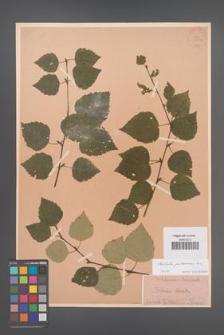 Betula pubescens [KOR 33812]