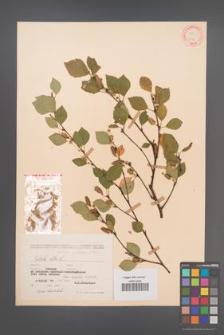 Betula pubescens [KOR 12084]