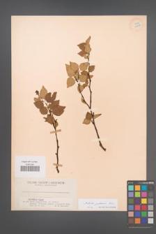 Betula pubescens [KOR 12218]