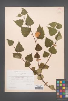 Betula pubescens [KOR 24424]