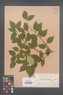 Betula schmidtii [KOR 567]