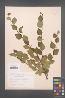 Betula tianschanica [KOR 12314]
